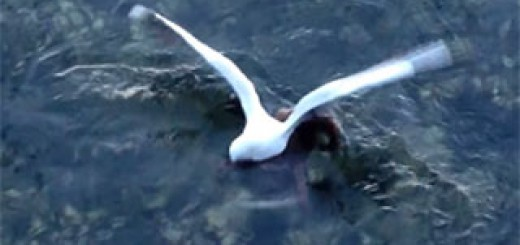 Octopus-catches-and-eats-a-sea-gull