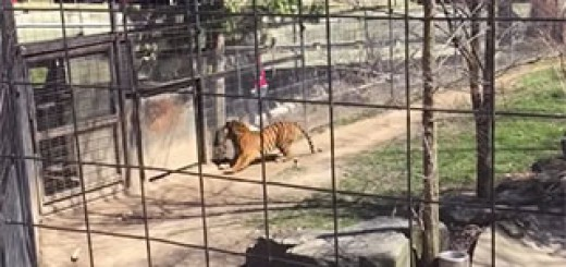 Person-jumping-tiger-fence-at-Toronto-Zoo-for-a-hat