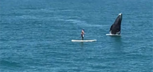 Whale-breaches-next-to-paddleboarder