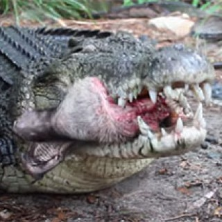 Saltwater-Crocodile-eating-a-pigs-head