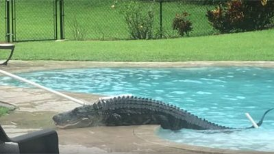 alligator piscine particulier